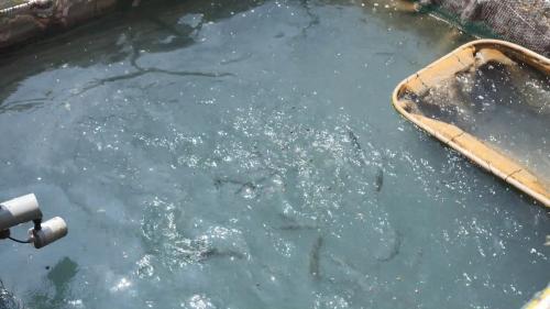 林口電廠海洋牧場實驗魚塭