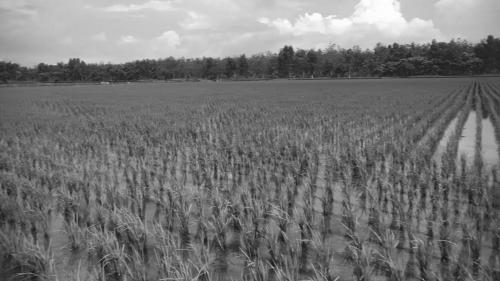道將圳-嘉義太保鄉農田:早期嘉南平原的農田大多屬於「看天田」,耕作及作物生長所需的水,皆賴降雨。