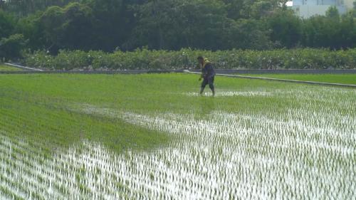 莿仔埤圳引水灌溉的農田