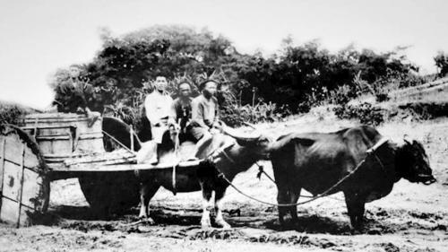 日治時期臺灣黃牛水牛及大板輪牛車舊照